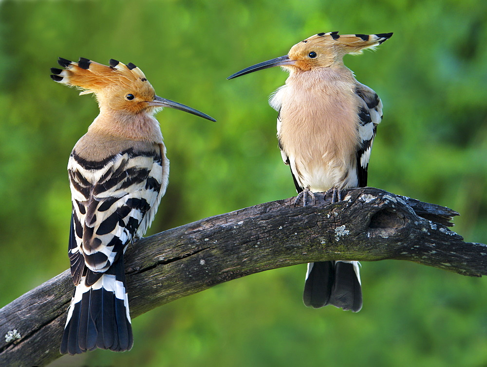 Eurasian Hoopoes on a branch, Spain
