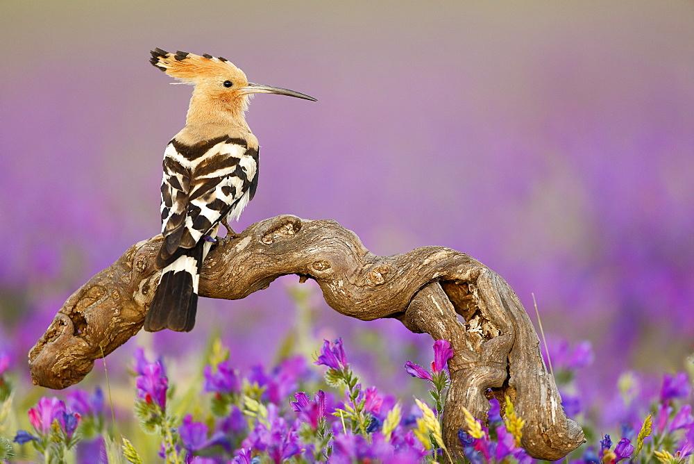 Eurasian Hoopoe on a branch, Spain