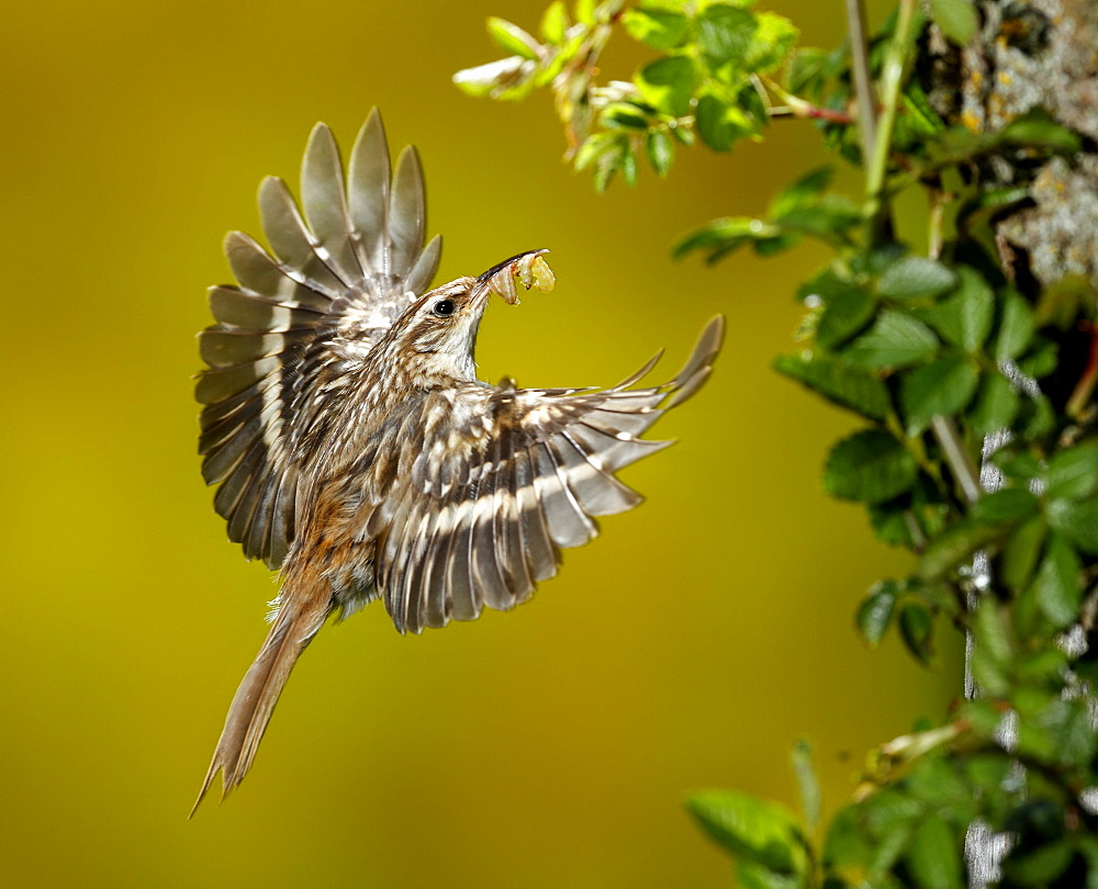Short-toed Treecreeper feeding in flight, Spain