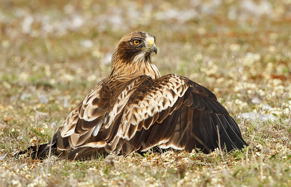 Booted Eagle on ground, Spain