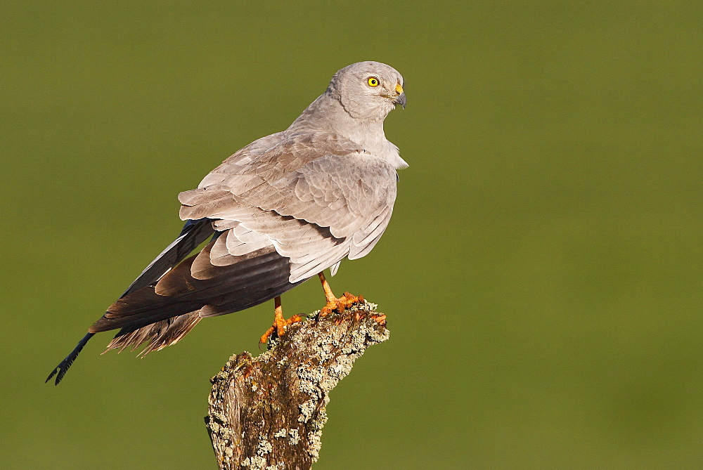 Montagu's Harrier on a branch, Spain