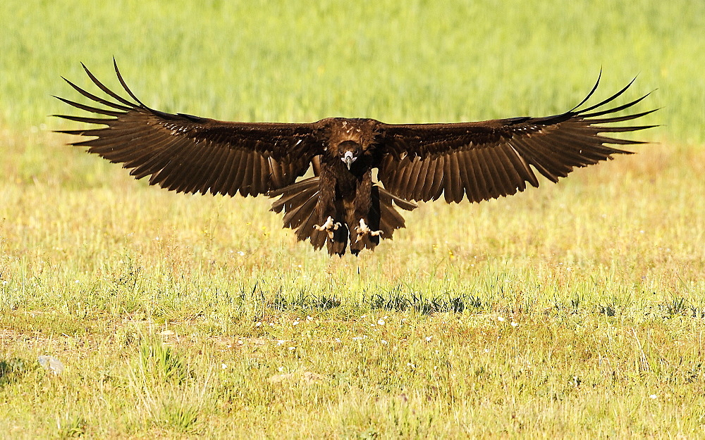 Cinereous Vulture landing, Spain