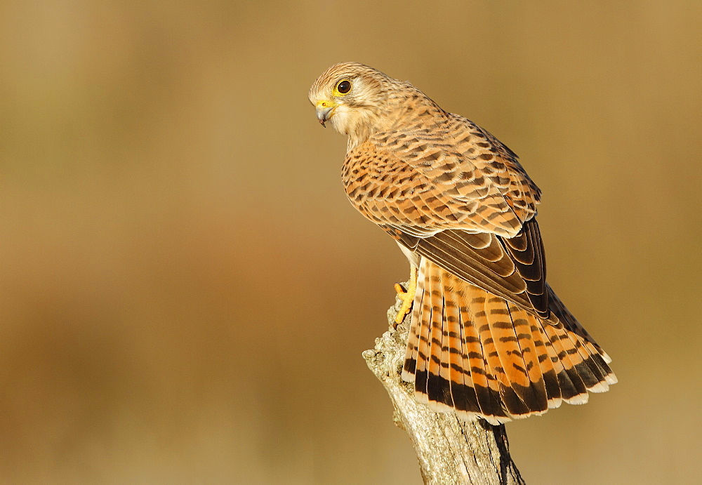 Common Kestrel on a branch, Spain