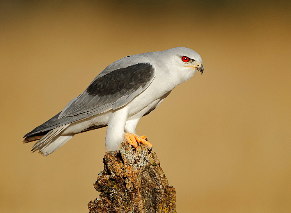 Black-winged Kite on stump, Spain