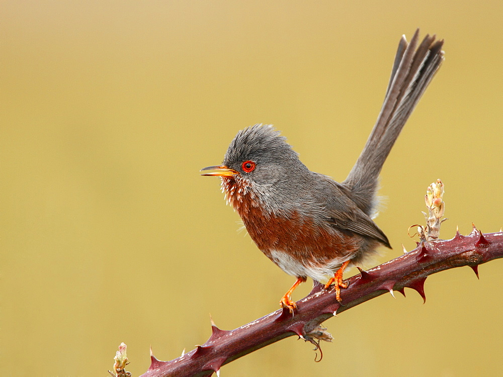 Dartford Warbler on a branch, Spain