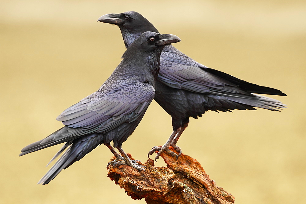 Common Ravens on a branch, Spain