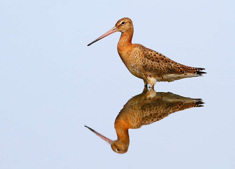 Black-tailed Godwit and its reflection, Spain  - 860-285357