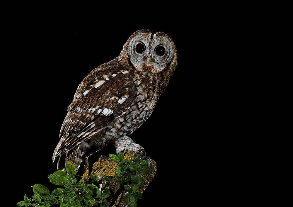 Tawny Owl on a branch , Spain