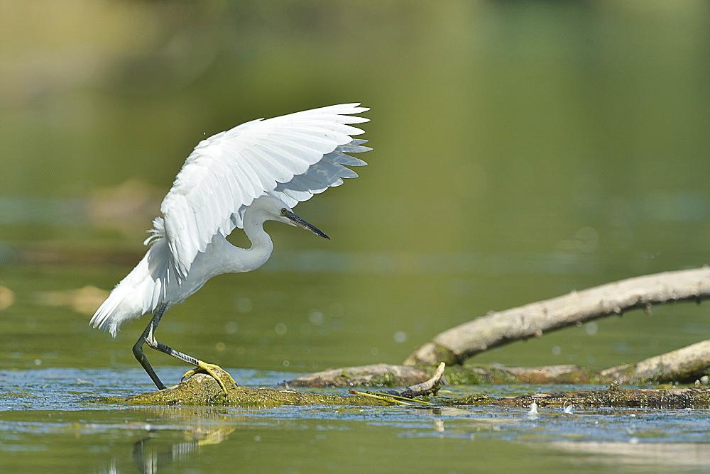 Little Egret landing in a pond, France