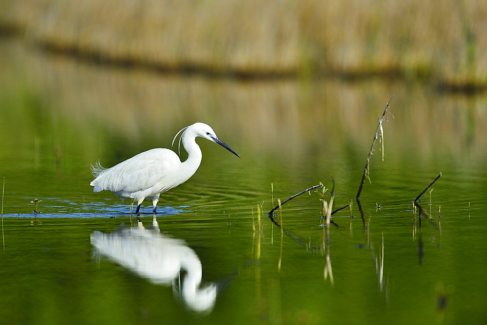 Little Egret fishing in a pond, France