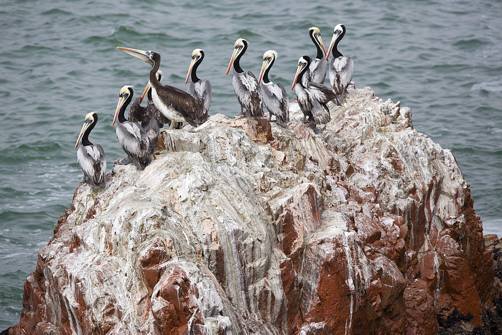 Peruvian Pelicans on rock, Reserve of Paracas Peru