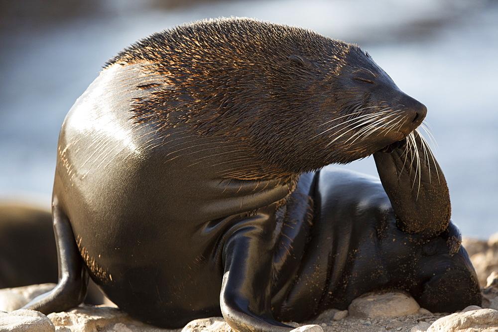 Southern Fur Seal, Punta San Juan Peru