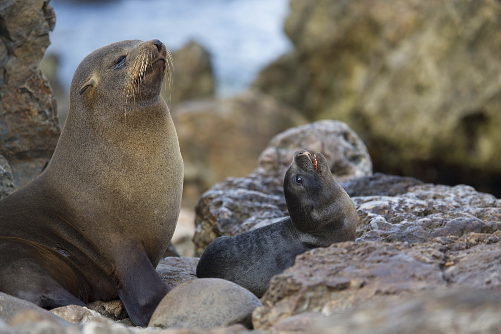 Southern Fur Seal and young, Punta San Juan Peru