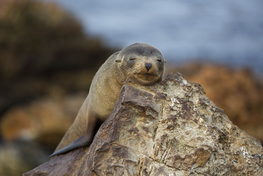 Southern Fur Seal at rest, Punta San Juan Peru