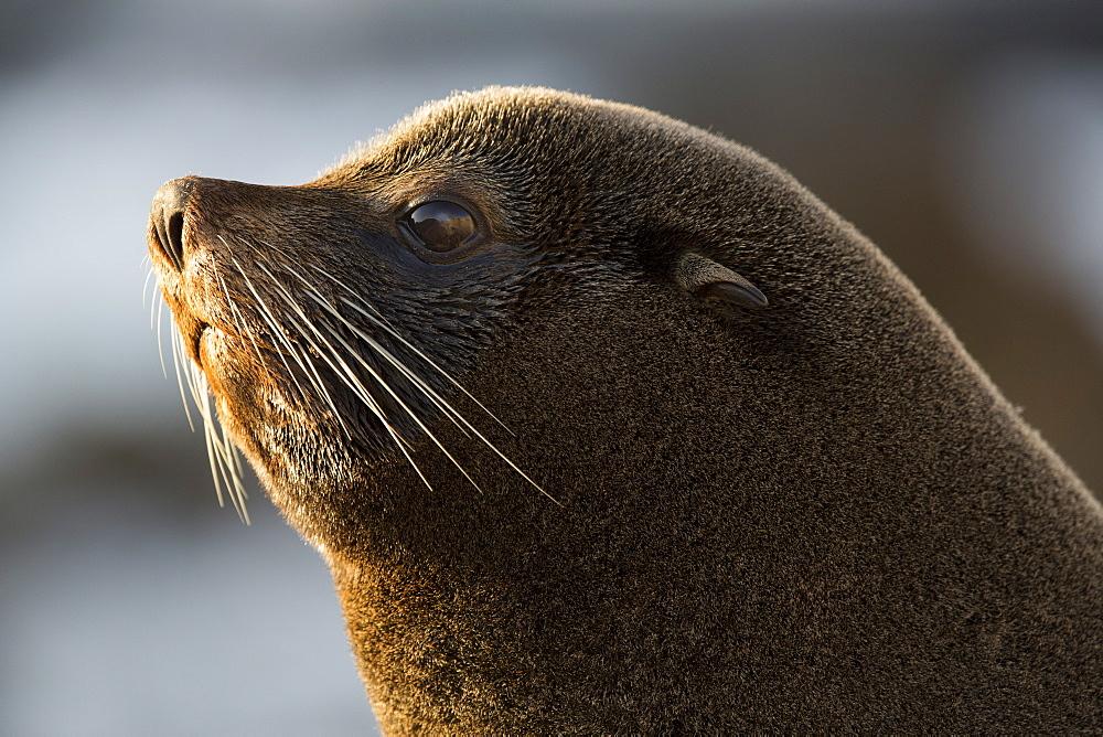 Portrait of Southern Fur Seal, Punta San Juan Peru