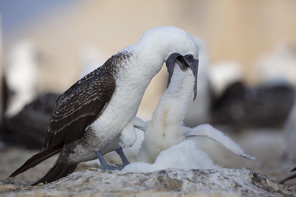 Peruvian booby feeding chick, Pescadores guano island Peru