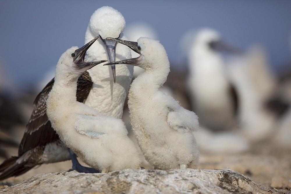 Peruvian booby and chicks -Pescadores guano island Peru