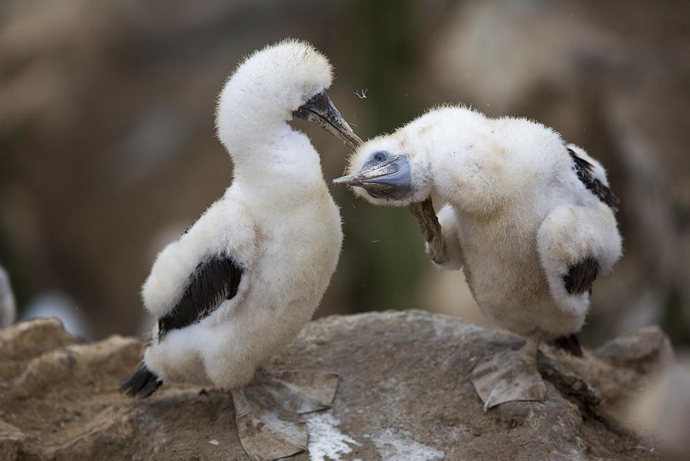 Peruvian booby chicks, Pescadores guano island Peru