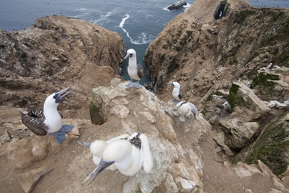 Peruvian boobies at nest, Pescadores guano island Peru