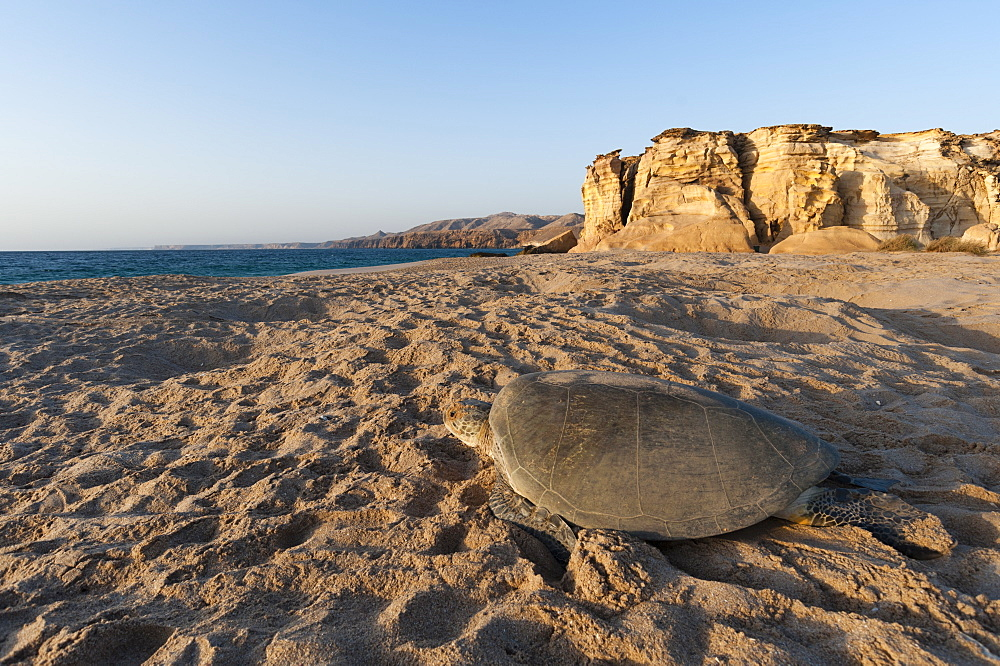 Green see turtle on a beach, Oman