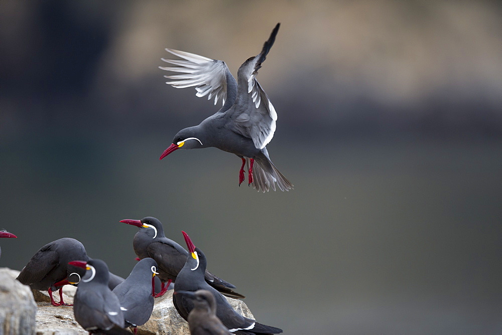 Inca terns on rock, Pescadores guano island  Peru