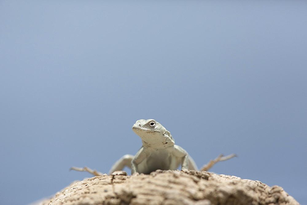 Tiger pacific lizard, San Fernandino Nazca Desert Peru