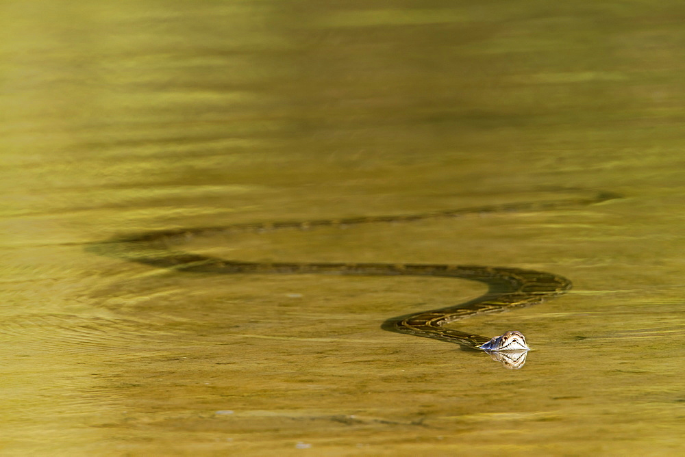 Asian Python in Nepal's river , Royal Bardia NP Nepal