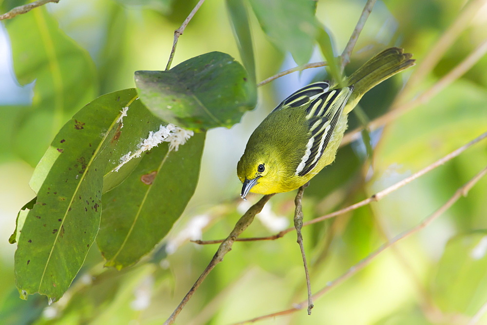 Common iora bird on a branch, Royal Bardia NP Nepal