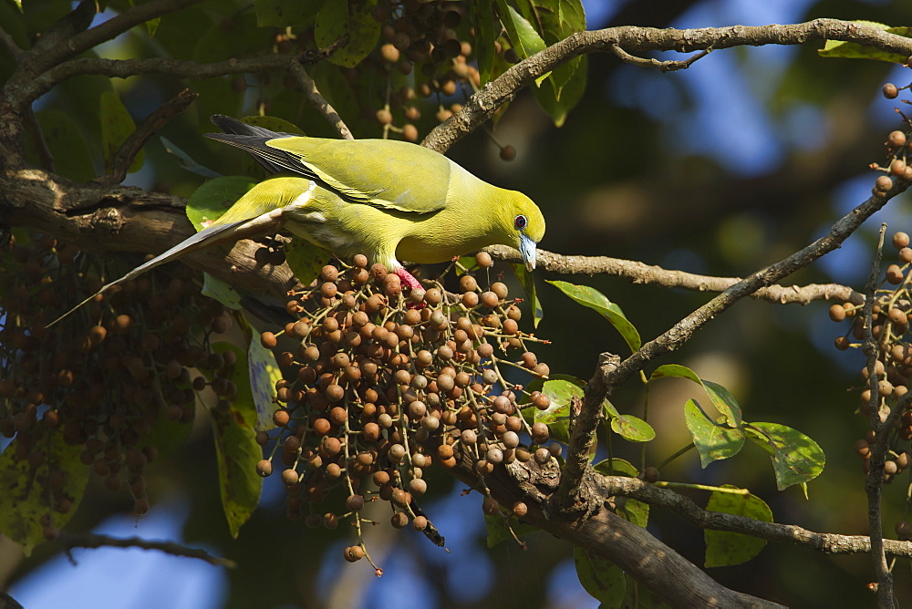 Pin-tailed green pigeon eating fruits-Royal Bardia NP Nepal