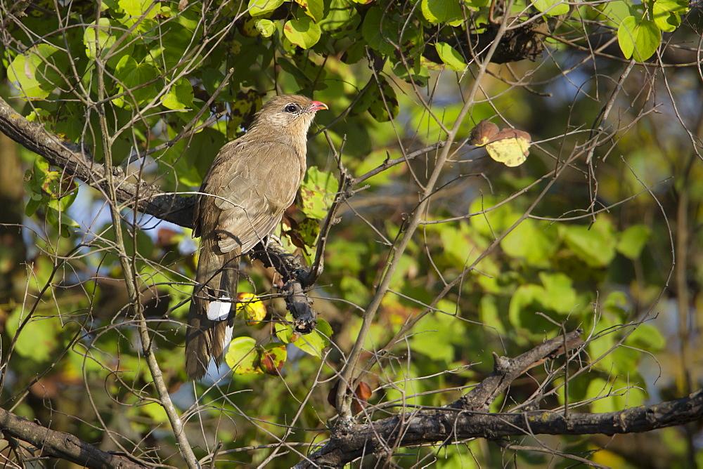 Sirkeer malkoha on a branch, Royal Bardia NP Nepal