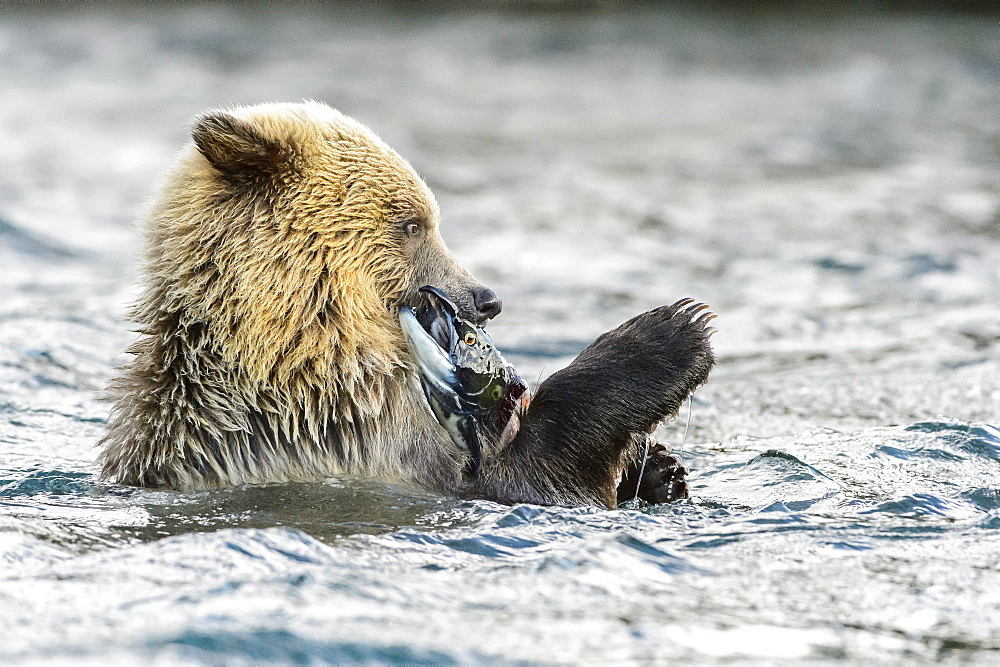 Young grizzly bear cub eating a sockeye salmon in Canada