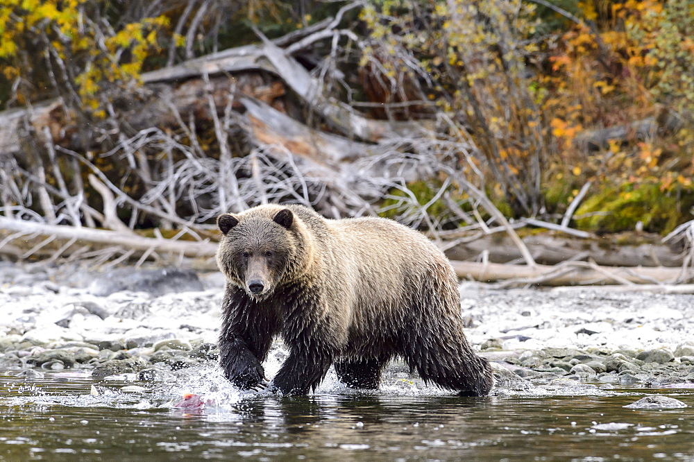 Male grizzly bear fishing a sockeye salmon in Canada