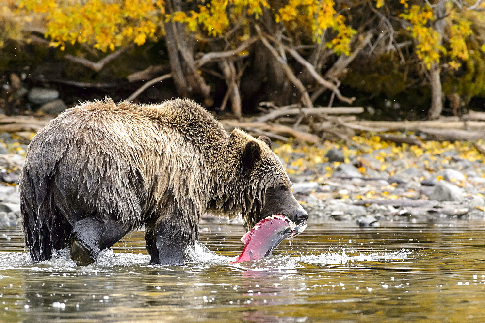 Male grizzly bear eating a sockeye salmon in Canada