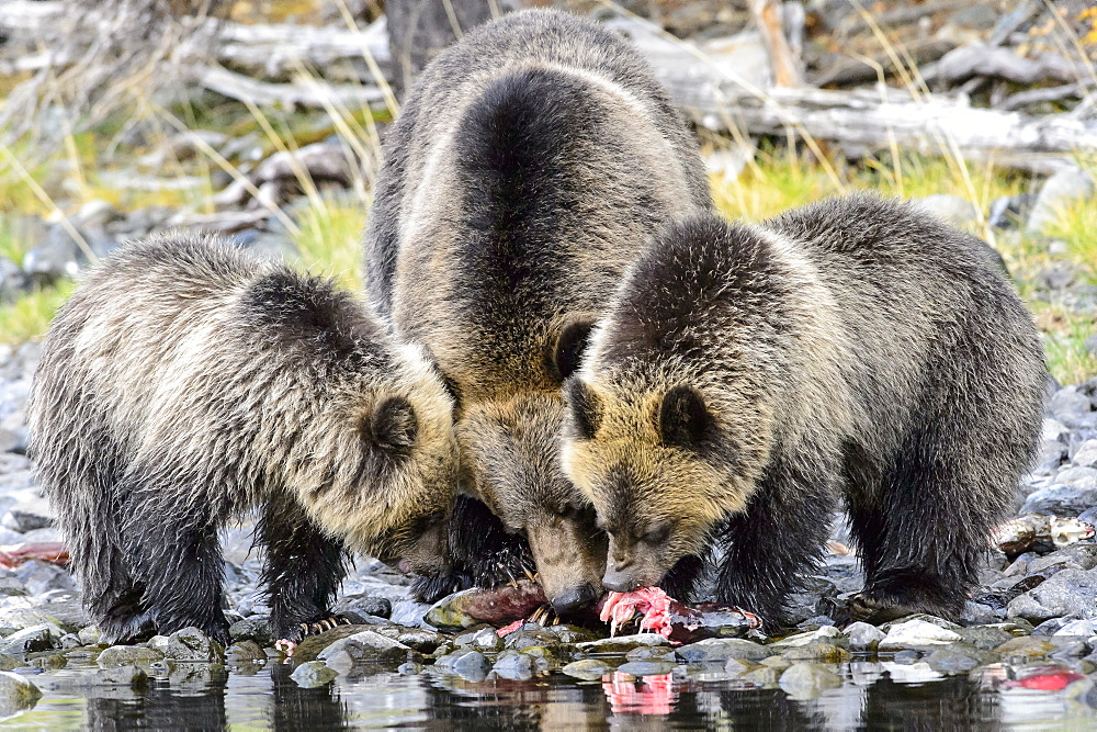 Female grizzly bear and her cubs eating a salmon in Canada