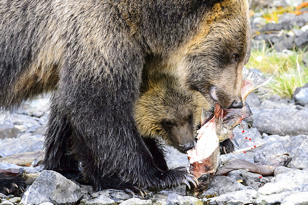 Female grizzly bear and her cub eating a salmon in Canada