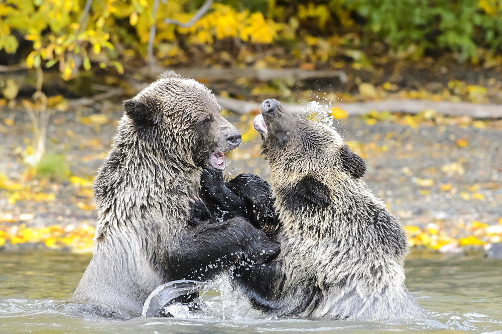 Grizzly bear cubs playing in a stream in Canada