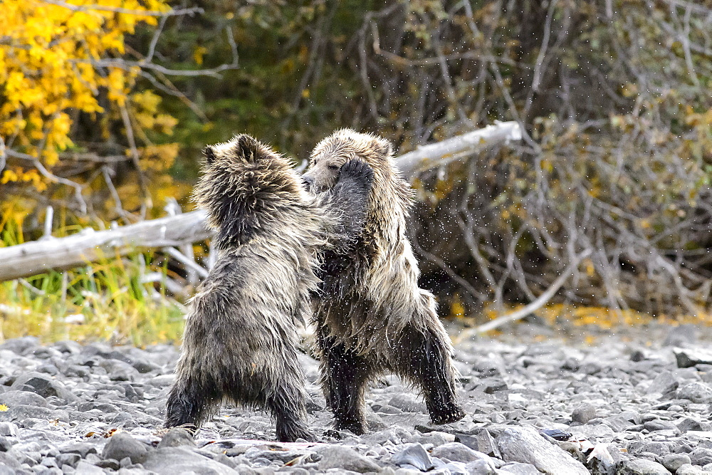 Grizzly bear cubs playing to fight in Canada