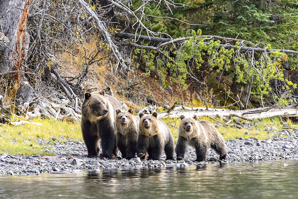 Grizzly bear cubs and their mother walking in Canada