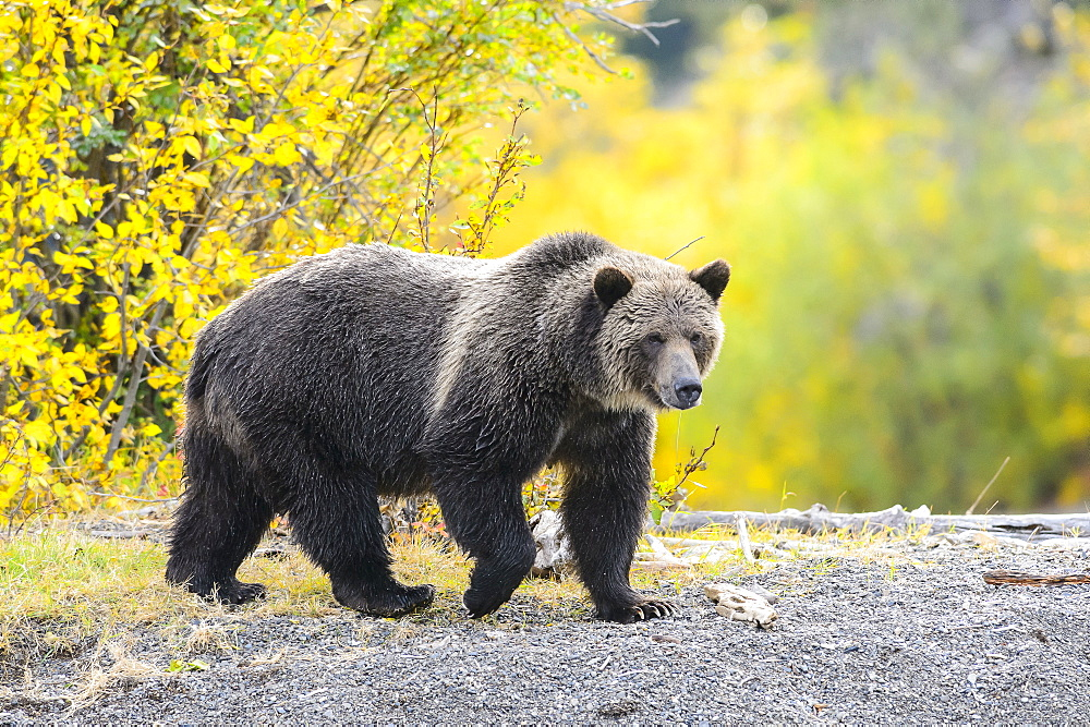 Grizzly bear female walking in Canada