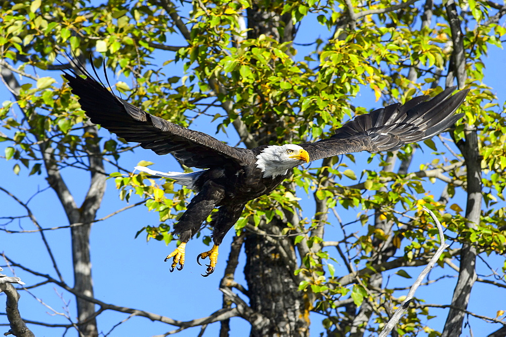 Bald eagle flying away from a branch in Canada