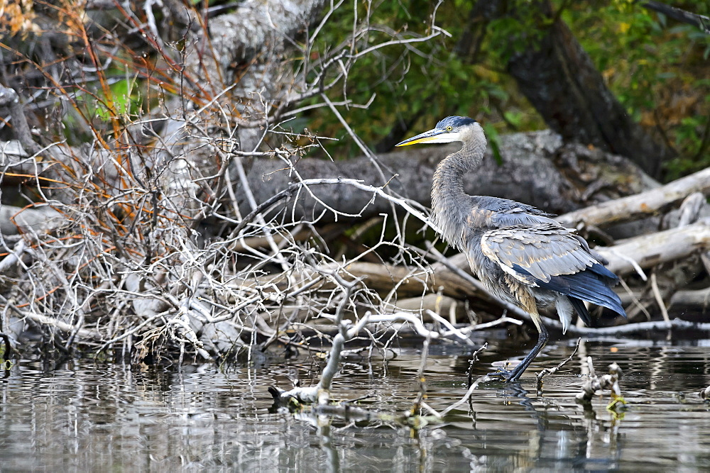 Immature great blue heron snorting in Canada