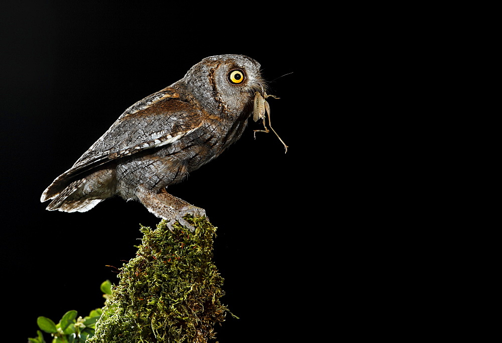 Eurasian Scops Owl perched with prey, Spain