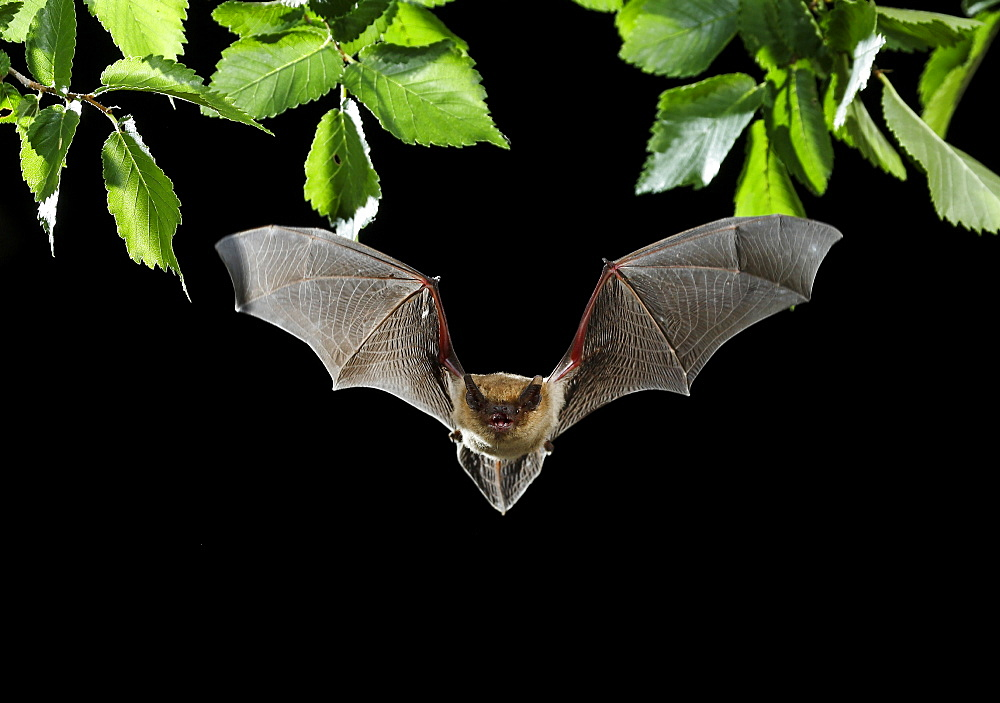 Serotine Bat flying at night, Spain