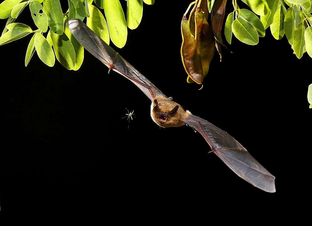 Serotine Bat flying and prey at night, Spain