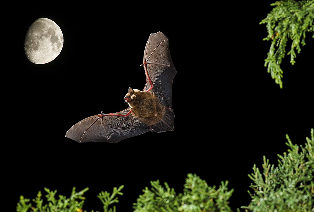 Serotine Bat flying at night and moon, Spain
