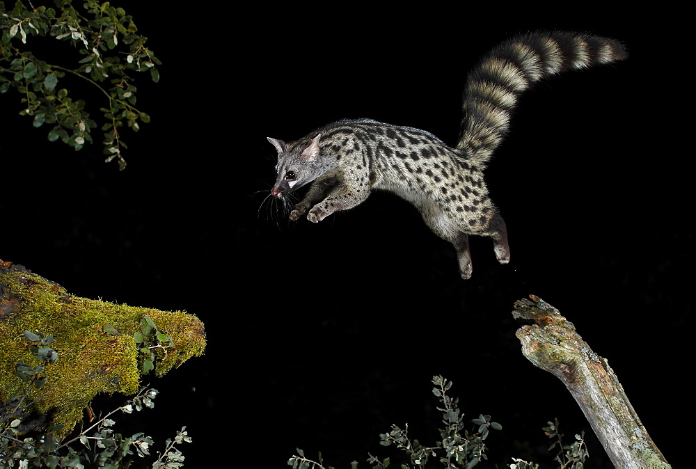 Common genet jumping at night, Spain