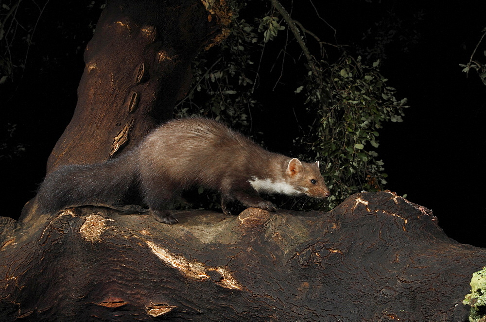 Beech marten on a branch at night, Spain