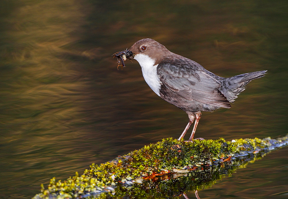 White-throated Dipper on bank with its prey, Spain