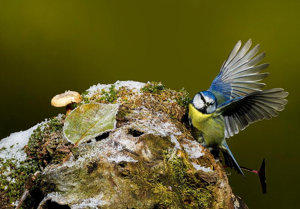Eurasian Blue Tit on a branch, Spain