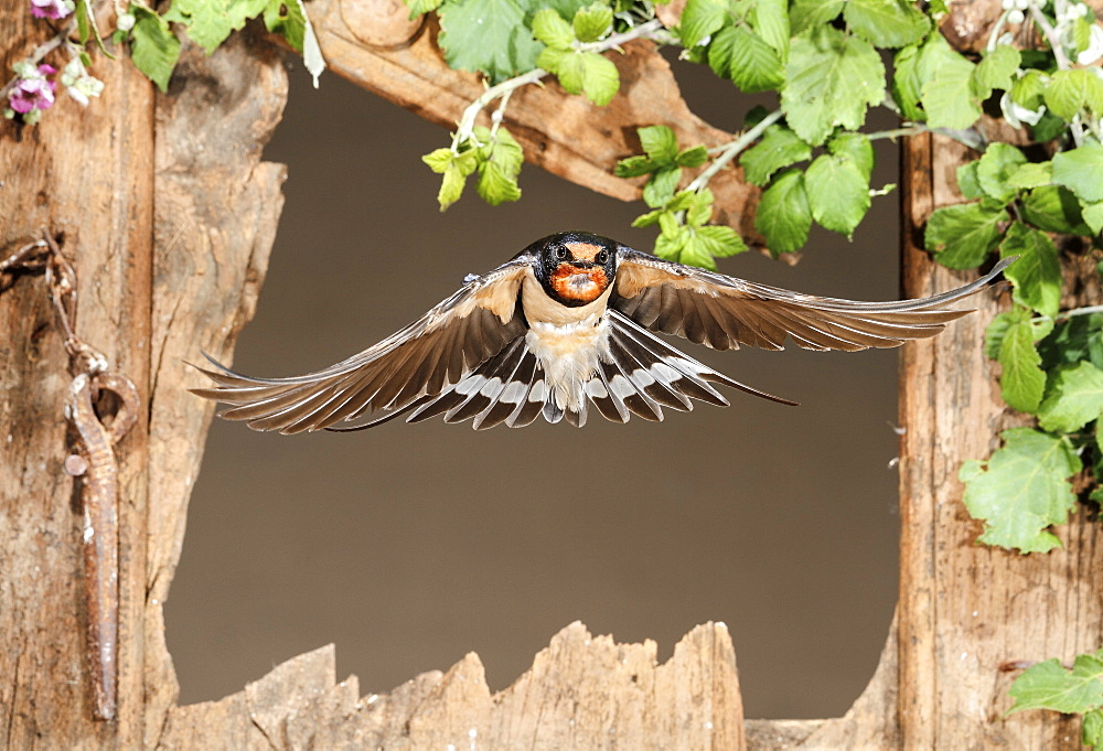 Barn Swallow flying through a window, Spain